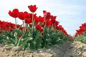 При соблюдении технологии выращивания, можно вырастить хороший урожай тюльпанов, например, с кв