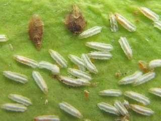 О поражении спатифиллума щитовкой будут свидетельствовать темные пятна на листьях и стеблях растения. Лу