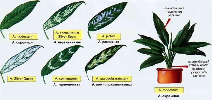 Аглаонема имеет множество продолговатых листьев, обычно не более 15 сантиметров в длину, а в высоту само растение редко достигает 70 сантиметров. Окрас листьев у разных видов может существенно разл