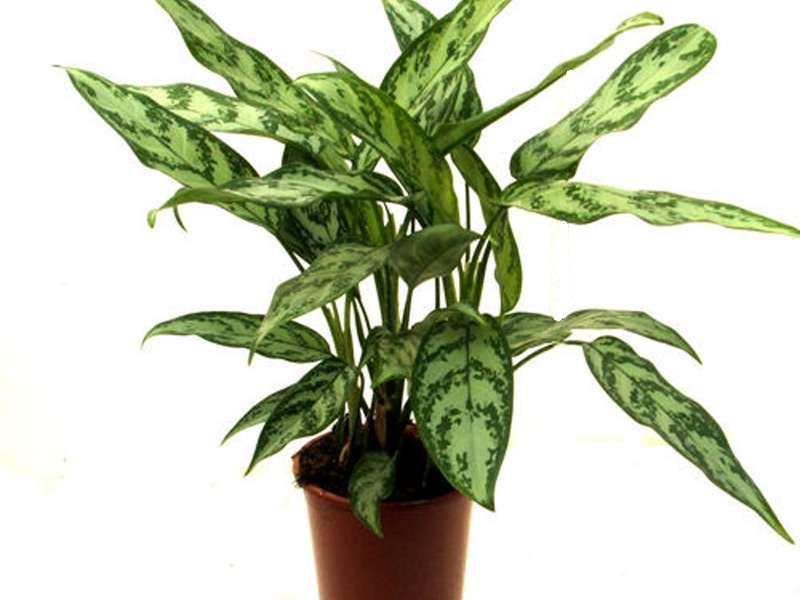 Поливать аглаонему при выращивании в домашних условиях следует умеренно и часто, однако, переизбыток влажности в почве может привести к загниванию корней. Чтобы такой неприятности не случилось, нужен хорош