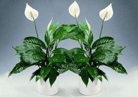 Спатифиллум – влаголюбивое растение, поэтому его необходимо ежедневно опрыскивать пульверизатором. Если цветку не будет хватать влаги, кончики его листочков могут подсыхать. Полив растения нужно осу