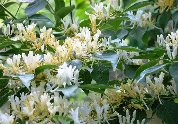 многолетние вьющиеся растения для дачи