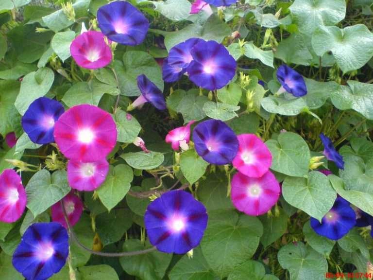 декоративные вьющиеся растения для дачи
