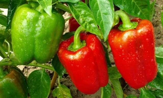 подкормка для рассады помидор народными средствами
