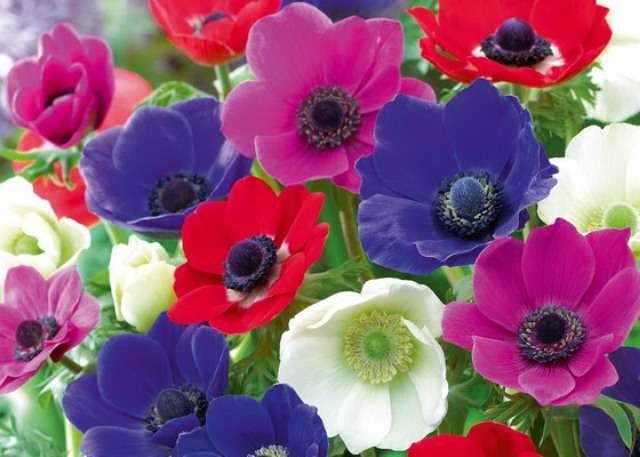 Анемона (ветреница) – цветок устойчивый к болезням и не требует особого ухода. Главное посадить в хорошо удобренный грунт.