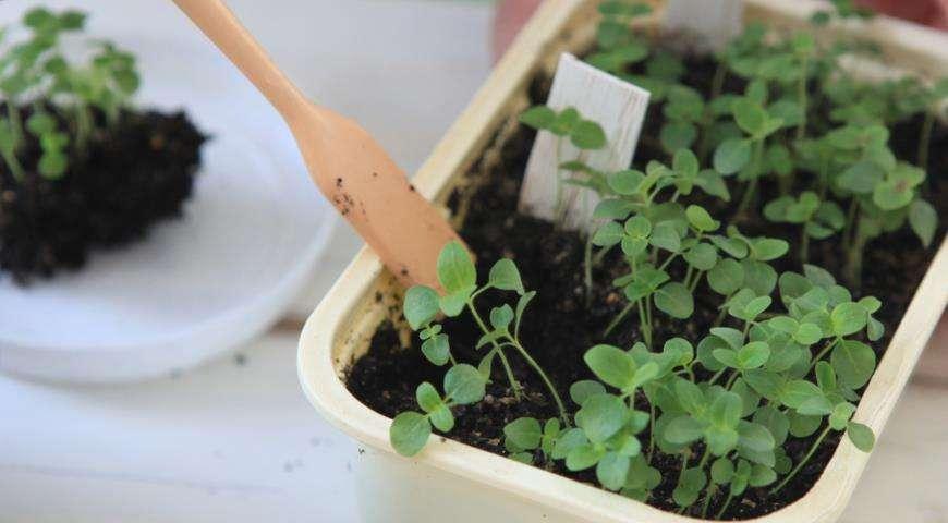 лобулярия из семян в домашних условиях