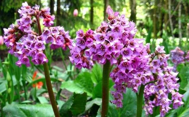 Бадан: фото цветка