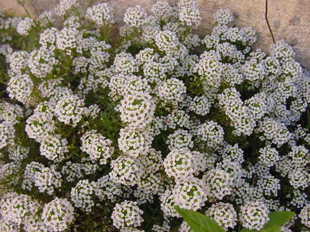 цветы лобулярия посадка и уход фото