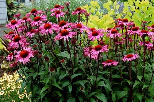 Эхинацея пурпурная – лекарственное растение с большими, красивыми цветами.