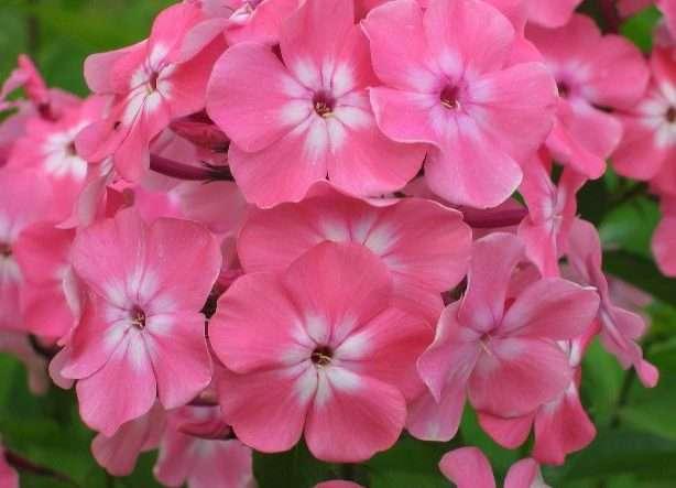 Флоксы – очень душистые и яркие цветы. Эти красивые растения любят солнечные местности, садовые почвы с примесью песка и глины