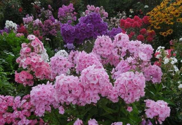разновидности флоксов садовы