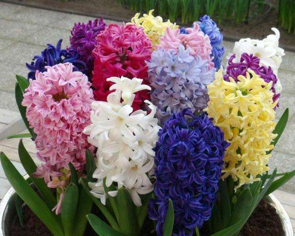 Фото и раскраска цветов Геацинтов