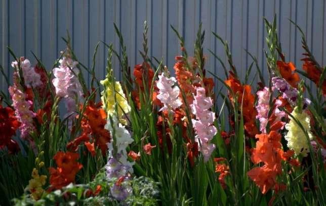 Гладиолусы – высокие красивые растения с большим соцветием колос.