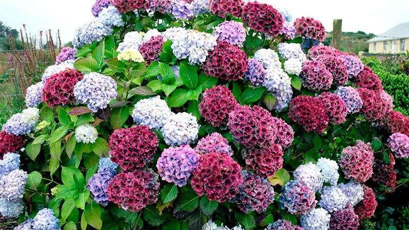 кустарники цветущие все лето зимостойкие многолетние