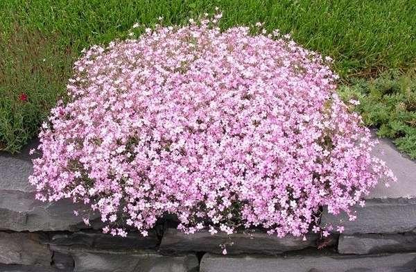 Гипсофила – кустистое растение с мелкими цветочками. Любит известковые почвы, не прихотлива к удобрениям, поэтому используется для создания красивого фона в общих композициях клумб, альпийских горок, рокария