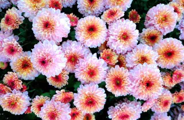Хризантема – самые знаменитые осенние цветы. Их известно около 200 видов