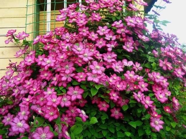 Клематис (ломонос) – вьющаяся лиана с крупными цветами. Период цветения с июня по август.