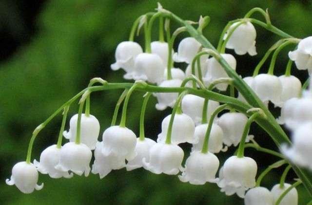 Ландыши – засухоустойчивое растение с ароматными белыми цветочками-колокольчиками. Любит полутень, в сильной тени цветов становится меньше, а листьев больше.