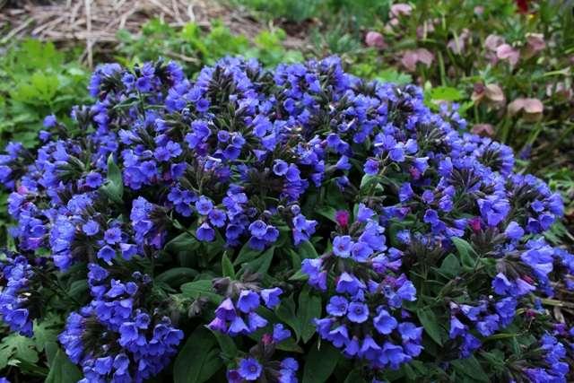 Медуница (пульмонария) – тенелюбивое растение с цветами разной окраски на одном стебле (розовыми и синими).