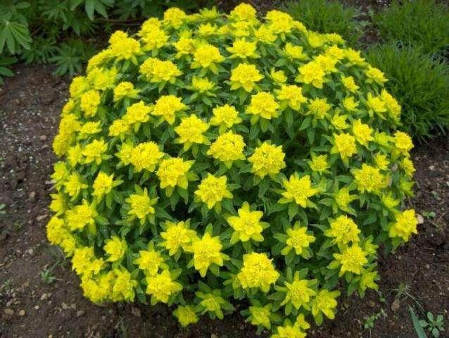 Молочай садовый: фото цветов