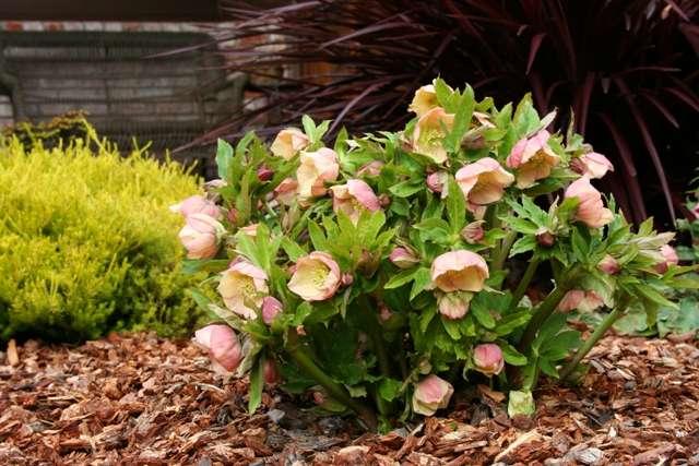 Морозник: фото цветов