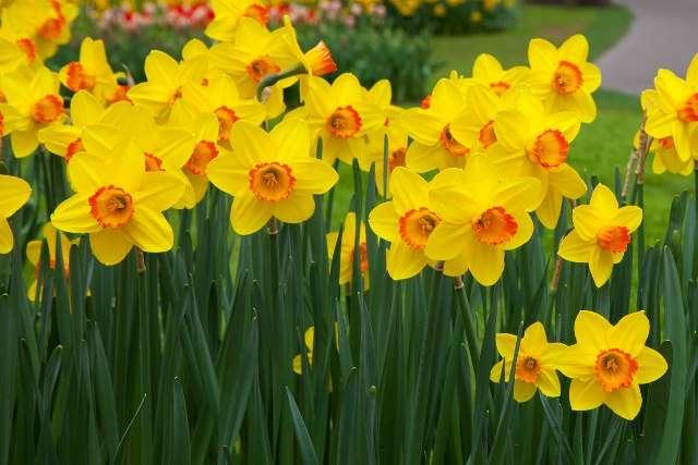 Нарциссы – многолетние луковичные растения.