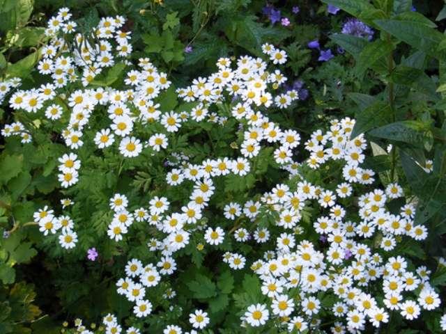 Нивяник (ромашка) – нежные цветы с сильным корневищем. Неприхотливое, светолюбивое, зимостойкое растение