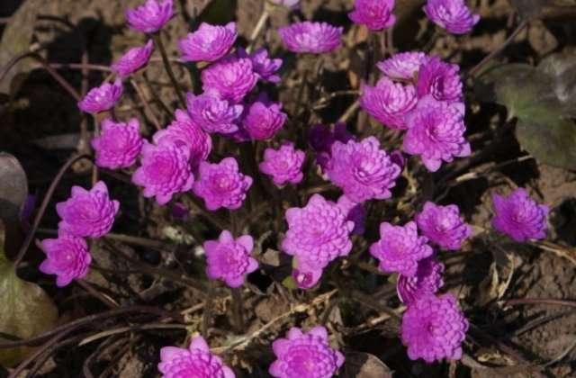 Есть садовые разновидности с махровыми бутонами, а также с розовой, белой, фиолетовой окраской.