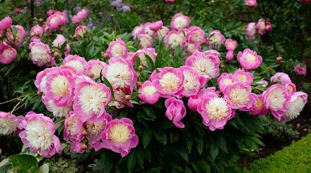 Пионы – большие красивые цветы с яркой окраской. Растение имеет две жизненные формы: травянистые и древовидные.