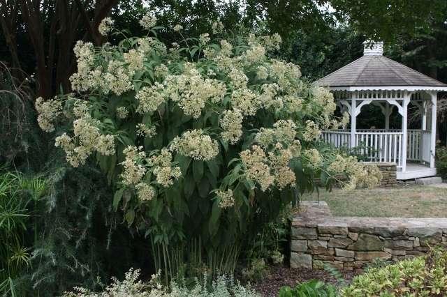 Посконник – многолетник, цветущий с августа по октябрь. Высота растения от 100 до 150 см.