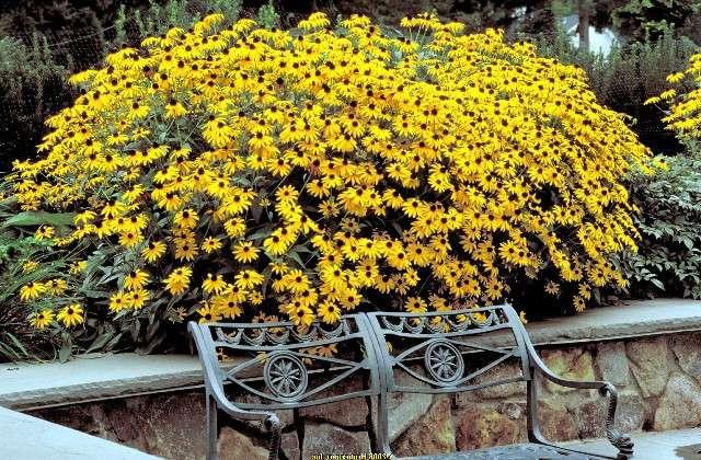 Рудбекия – долго цветущие растения с эффектными цветами. Период цветения: с июля по сентябрь