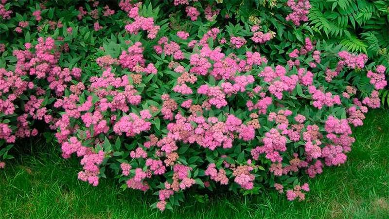 многолетние кустарники цветущие все лето фото и название