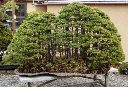 Кроме самого дерева, в горшке могут находиться крошечные домики и фигурки, а землю часто покрывают мелким камнем или зеленым мхом. Из дерева бонсай можно сотворить целую композицию, имитирующую приро