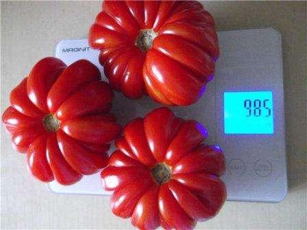 Определить спелость томатов можно по внешнему виду: их кожица приобретает блеск. При необходимости собрать плоды раньше созревания их доводят до кондиции в бумажных пакетах или в соседстве с бананами или
