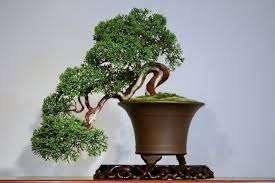 2. «Наскальный» (сэкижежу) – имитация скального пейзажа. Очень часто для нее выращивают вишню или дуб.