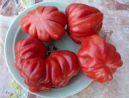 Огородники, выращивающие томат сорта Американский ребристый, отмечают среди его положительных качеств красивый внешний вид, хорошую переносимость засушливости, невосприимчивость к болезням, достаточн
