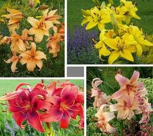 Отличить лилию от других цветов можно по слегка длинным лепесткам. Обычно лепестков, как и тычинок шесть. Это самые главные отличительные признаки. Вообще лилия означает в переводе чисто белый цвет, но цветоводы знают, что этот цветок имеет большое разнообразие окрасок. Так лилия может быть желтой, ли